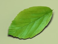 persian ironwood parrotia persica 3d 3ds