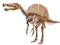 dinosaur skeleton spinosaurus dino 3d model