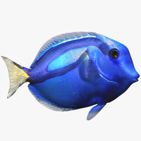 Blue Surgeon Fish