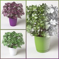 3d oxalis triangularis plant