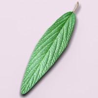 leatherleaf viburnum plant leaf 3d 3ds
