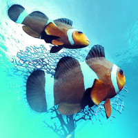 3d model clownfish ocellaris