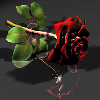 red white rose 3d model