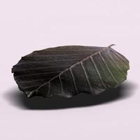 Cupper_beech_leaf (Fagus sylvatica)