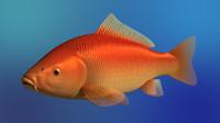 carp fish obj
