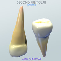 second premolar 3d model