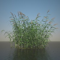 3d model phragmites common reed grass