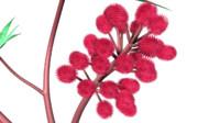 maya castor bean flower