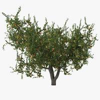 maya apricot tree
