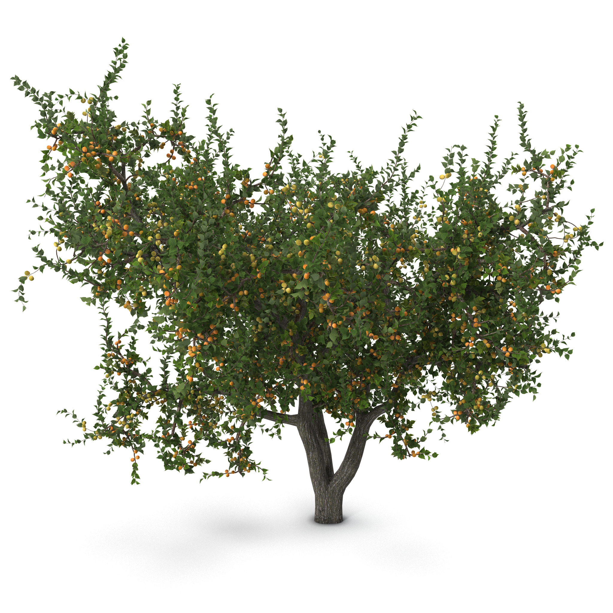 Apricot Tree_94.jpg