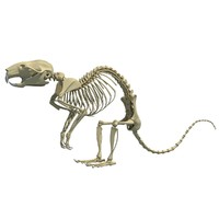Rat Skeleton 3D Model