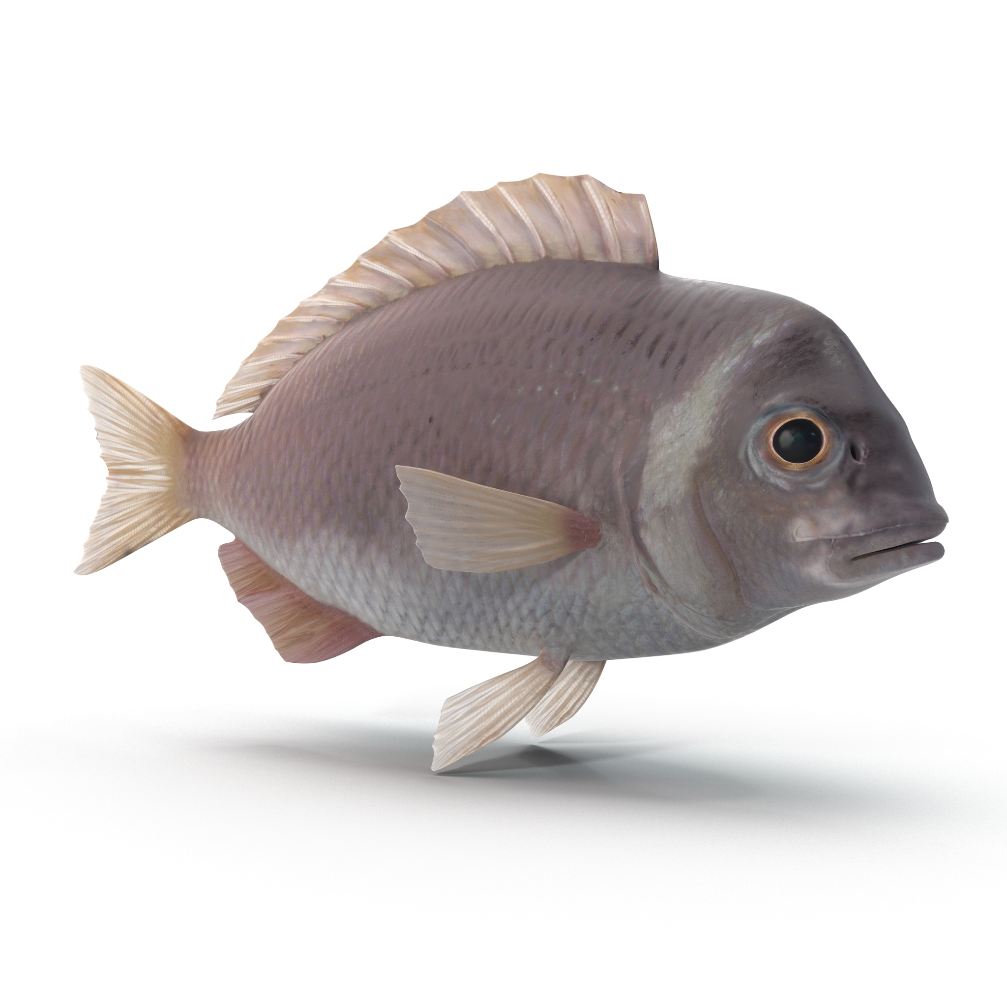Sea Bream Fish_76.jpg