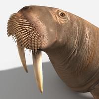 walrus 3d model