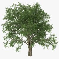 3d model pecan tree