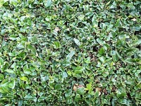 lush green leaves.jpg