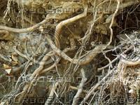 many tree roots.jpg
