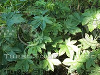 sweet gum plants.jpg