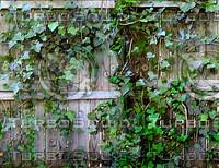 ivy fence.jpg