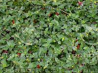 twining ivy.jpg