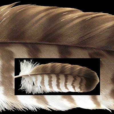 feather1951x.jpg