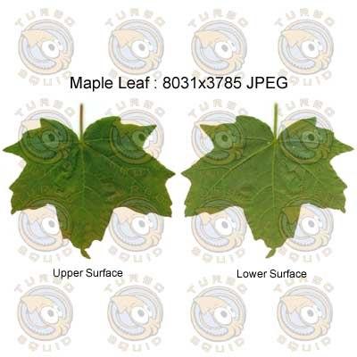 SPMapleLeaf001.jpg_thumbnail1.jpg