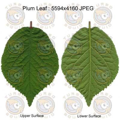 SPPlumLeaf001.jpg_thumbnail1.jpg