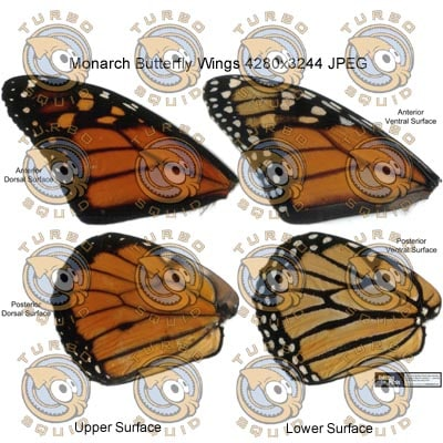 SP_MonarchButterflyWings001.jpg_Thumbnail1.jpg