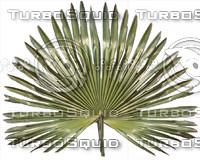 Scrub_palm.jpg