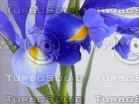 iris_1.jpg