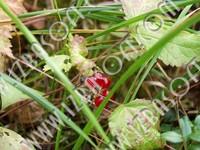 Cowberry_Macroshooting_P2212373orig.zip