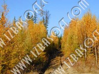 Siberian_forest_P1010483orig.zip