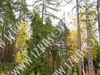 Siberian_forest_P2222595orig.zip