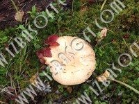 Wave_mushroom_cowberry_and_moss_P2222466orig.zip