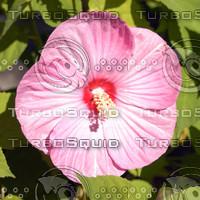 macn012_hybiscuspink.jpg