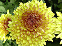FLOWER CHRYSANTHEMUM 03