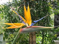 Single Bird of Paradise.JPG
