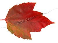 leaf_0699.png