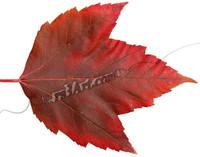 leaf_0701.png