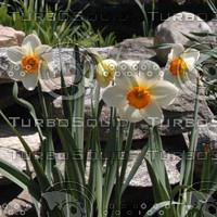 macn010_daffodils.jpg