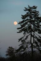 Moon Pine