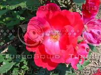 fchamp_flower178.JPG