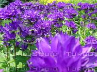 fchamp_flower183.JPG