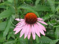fchamp_flower490.JPG