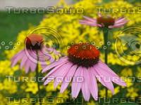fchamp_flower516.JPG