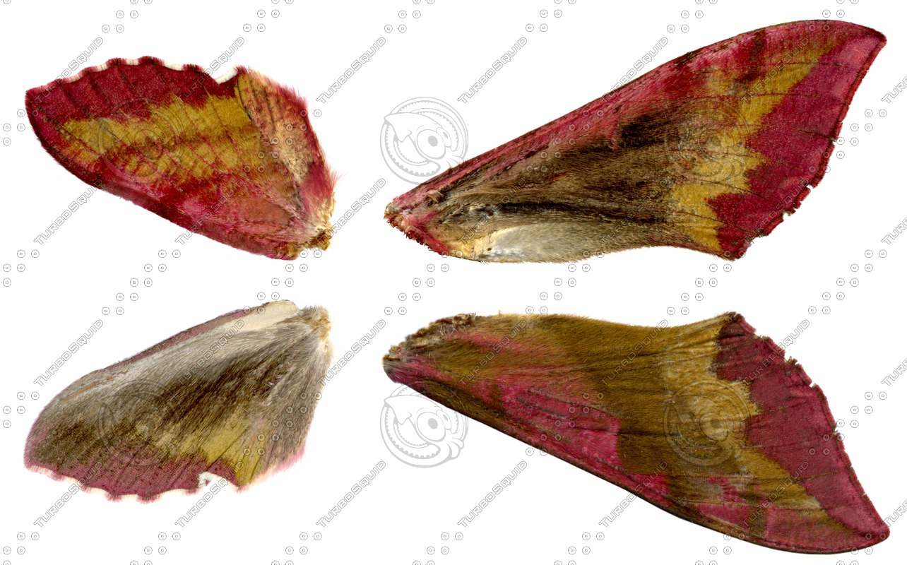 Deilephila-porcellus.JPG