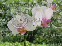 Mini orchid 1.JPG