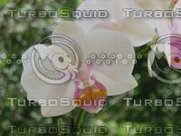 Mini orchid 3.JPG