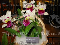 Orchid, Blc. Beauty Girl.JPG