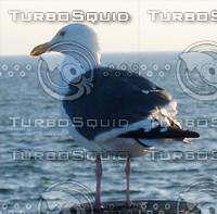 Seagull 01.jpg