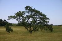 Valley Forge tree.JPG